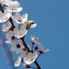 Spring:Peach blossom and bees