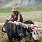 Cattle Farming in Tibet