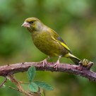 Greenfinch on Bramble