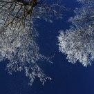 Frosty Maple Trees