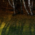 Shadow of birch trees