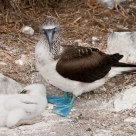 Blue Footed Boobie & Young