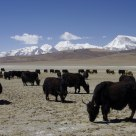 THE HERD OF YAK