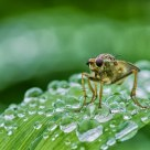 Dung Fly Taking A Bubble Bath