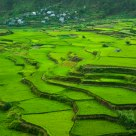 Rice fields o