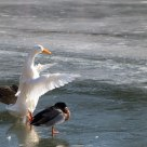 White goose on ice