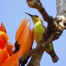 นกกินปลีอกเหลือง olive-backed sunbird