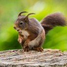 Windblown Red Squirrel