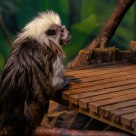 Tamarin at the Bar