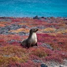Galapagos Sea Lion Basking in the Sun.
