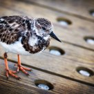 Boardwalk Bird