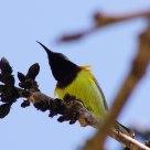 นกกินปลีอกเหลือง olive-backed