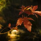 A Liquidambar in Autumn