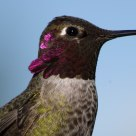 Black-Chipped Hummingbird in Winter
