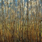 Backlit Reeds- Late Afternoon
