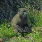 Baboon - Cape Town