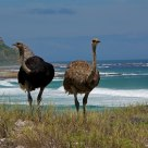 Wild ostrich on Cape Town Beach