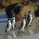 Penguins coming ashore