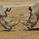 Male, female rhino stand off -- South Africa