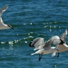 Gulls in flight -- South Africa