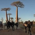 Zebu's at Baobab Alley