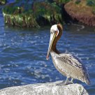 PELICAN AT REST