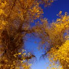 Poplars in autumn
