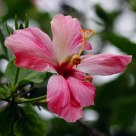 Rose Hibiscus