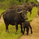 New Baby with mother water buffalo -- South Africa