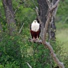 Eagle at rest -- South Africa
