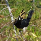 Hornbill on a fruit tree - Thailand