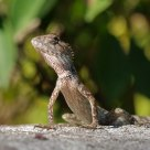 Lizard from Thailand