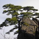 Beautiful field Huangshan pine
