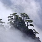 Beautiful field Huangshan pine in fog