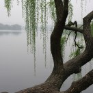 THE WILLOW TREE IN THE SPRING