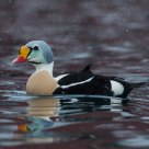 The KIng (King eider)