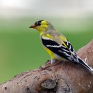 Gold Finch in Process