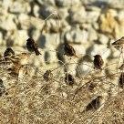 sparrow flock