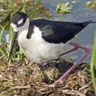 Black-necked Stilt On Eggs