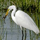 Great Egret & Frog