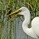Great Egret Swallows Frog