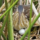 Least Bittern On Nest