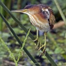 Least Bittern On Reed