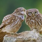 Cuddle time for little owls (Athene noctua)