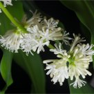 Flowering Dracaena (dracaena fragrans)