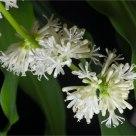 Flowering Dracaena (dracaena fragrans)