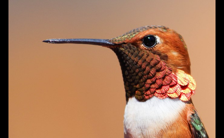 Black-Chipped Hummingbird 2014