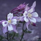 Columbine in Shade
