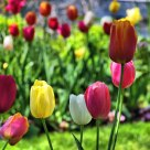Tulips at Perkins Cove