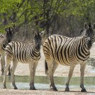 Zebras at Namibia